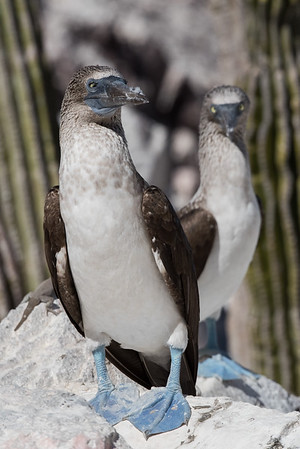 A pair of blue-footed boobies with down stuck to their bills from a preening session.