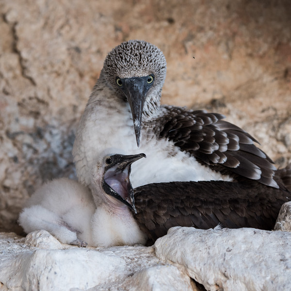 A female blue-footed booby and chick