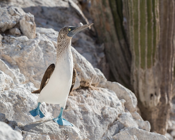 A male blue-footed booby performing courtship behavior.