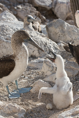A downy blue-footed booby chick begging for food