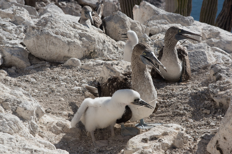 A downy blue-footed booby chick tending its nest