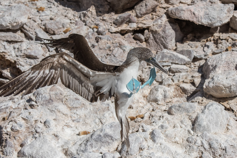 A blue-footed booby coming in for landing in a rocky canyon.