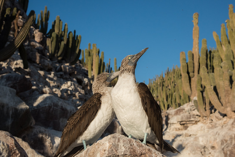 Two courting blue-footed boobies in a dwarf cardon cactus-fringed canyon.  The males have noticeably smaller pupils than the females.