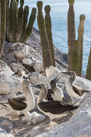 Blue-footed booby nests in close proximity on a rocky outcropping