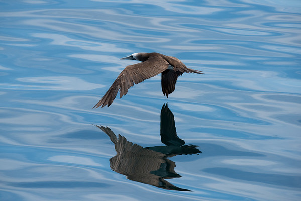 A brown booby foraging on calm, yet empty waters in the Gulf of California