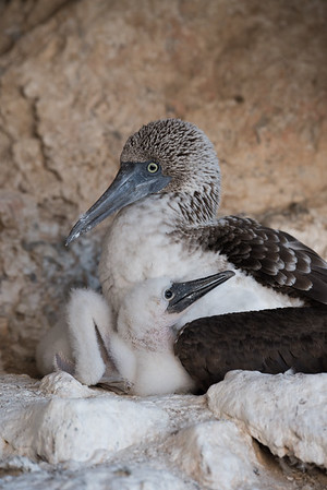 A female blue-footed booby with a downy chick