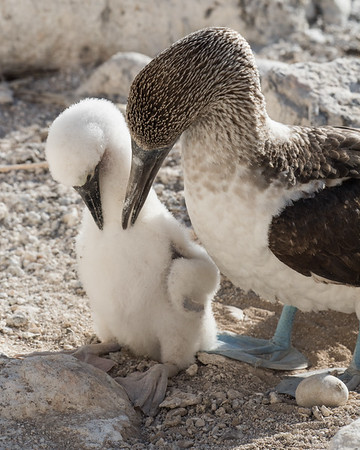 A blue-footed booby helps its chick preen their downy feathers.