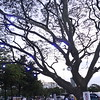 IMG_7667 Blue Guards Tree in Ateneo
