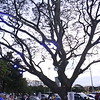 IMG_7668 Blue Guards Tree in Ateneo