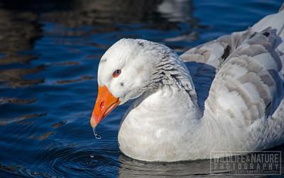 Goose Drips