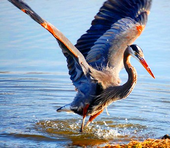 Blue Heron Photography