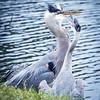 Blue Heron Disagreement