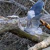 Great Blue Heron Prepared for Take Off from Brush