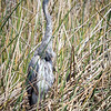 Great Blue Heron Stance