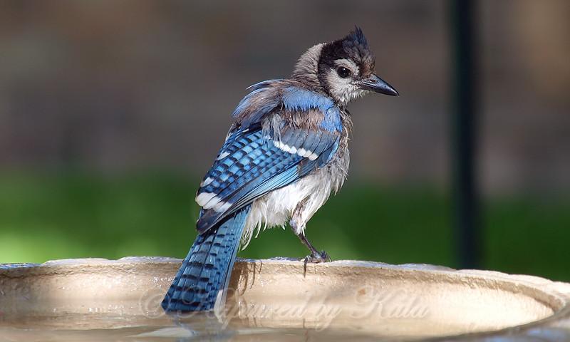 Juvenile Blue Jay At The Bird Bath