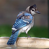 Juvenile Blue Jay At The Bird Bath