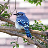 Pretty Blue Jay Posing