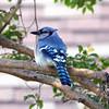 Pretty Blue Jay Posing