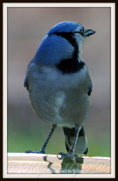 Blue Jay Who Thinks He is an Owl