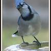 Boogie Blue Jay