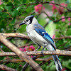 Blue Jay With Crepe Myrtle Blossoms
