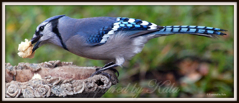 Blue Jays do not Live by Bread Alone