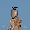 Cold Blue Jay