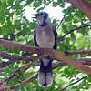 Juvenile Blue Jay In My Crepe Myrtle