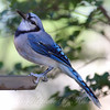 Blue Jay Show Off