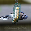 Adult Blue Jay Getting Suet