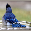 Blue Jay Fanning its Tail Out in Water