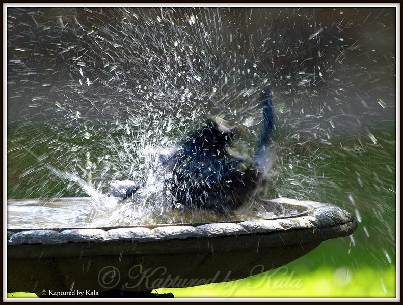 Blue Jay in Birdbath