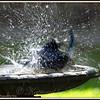 Blue Jay in Birdbath