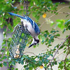 Junior Finds The Suet