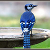 Juvenile Blue Jay Fully Feathered Except for the Head and Neck.