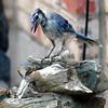 Blue Jay Molt