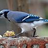 Greedy Blue Jay
