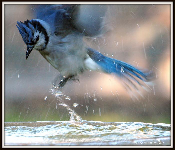 Blue Jay Enthusiasm