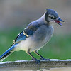 Soft And Fuzzy Juvenile Blue Jay