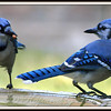 Pair of Blue Jays and a Peanut