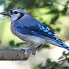 Beautiful Blue Jay