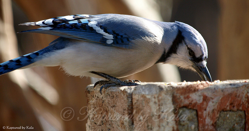 Blue Jay and Sunlight