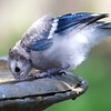 Baby Blue Jay Gets A Drink