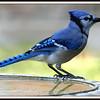 Adult Blue Jay