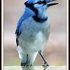 Noisy Blue Jay