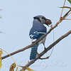 Blue Jays Like Pecans