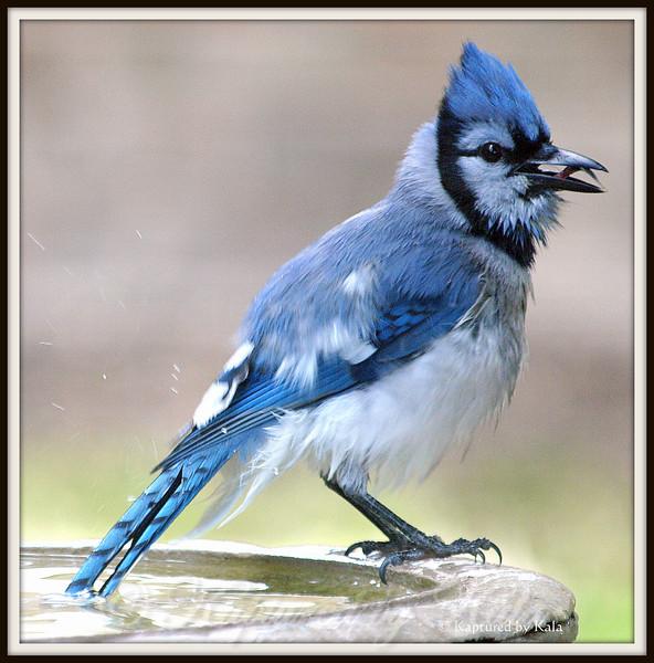 Gene Simmons of the Bird World