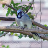 Pretty Blue Jay One Foot Up