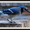 Blue Jay Playing with a Twig