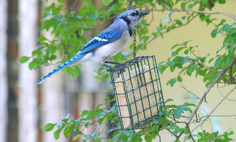Blue Jay At The Suet